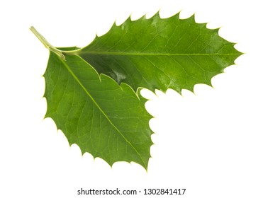 holly leaves isolated on white background