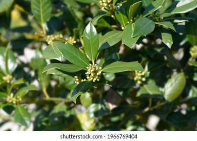 Holly Nellie R. Stevens flower buds - Latin name - Ilex aquifolium Nellie R. Stevens