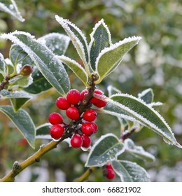 Holly with red berries covered in snow and ice