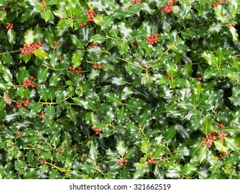 Holly tree with green holly leaves and red berries - detailed leaves with sharp spikes or spines clusters of red berries.  Traditional Christmas festive decoration for holiday season