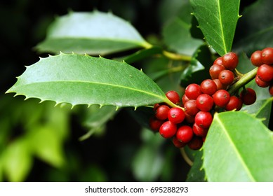 Holly tree with red berries on christmas