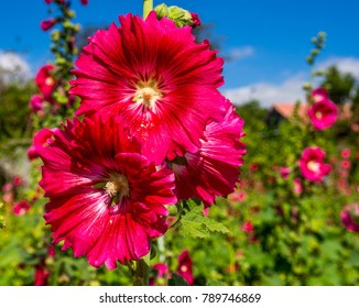 Hollyhock (Alcea rosea) red in gardens, Red flowers with straight stems.