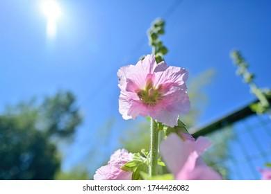 Hollyhock (Aoi) flower in full bloom shining in the blue sky background - Shutterstock ID 1744426082