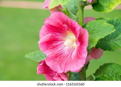 Hollyhock flower or Alcea rosea flower. Close up pink flower on blurred background. Pink Alcea or Hollyhock flower blooming in the field, morning sunlight.