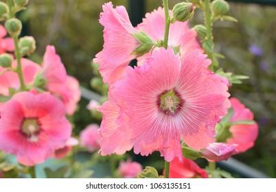 Hollyhock flower ( Alcea rosea ) in the garden.