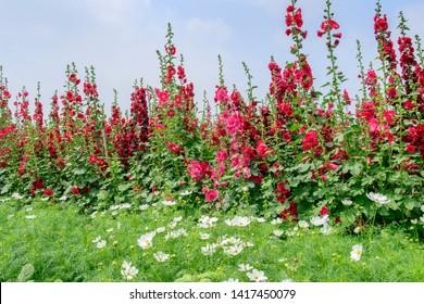 hollyhock flower garden with blue  sky