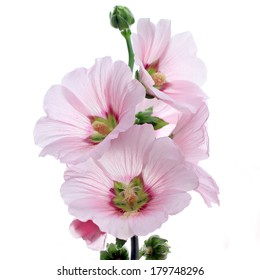 hollyhock flower isolated on white background