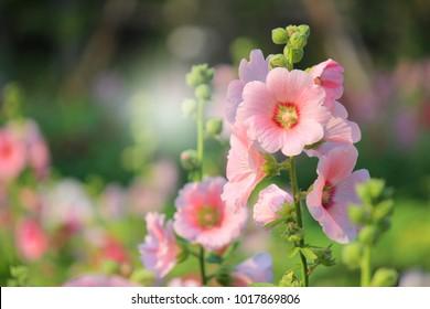 Hollyhock flower on green background in garden.