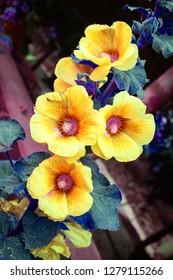 ํYellow Hollyhock flowers (Althaea Rosea or Alcea Rosea) blossoming on tree in the nature background
