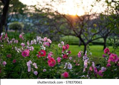 Hollyhock flowers under the sunset, Alcea, Dusk