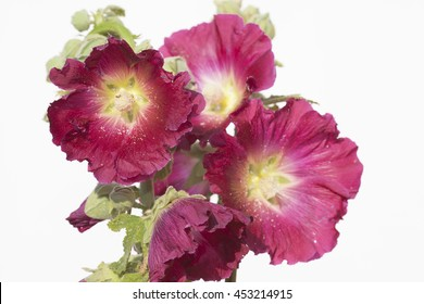 hollyhock on a white background