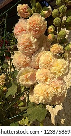 Hollyhock Peaches-n-Dreams.  Hollyhock variety blooming a double puffy pastel flower. Double, gigantic rounded blooms of soft peachy-yellow, blushed with pink on a tall festoon, sturdy stalk.