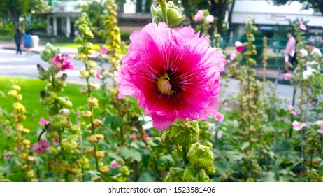 A hollyhock, pink flower with green leaves background in garden