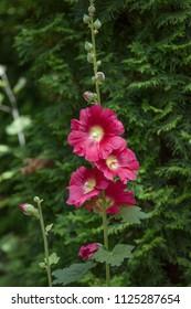 Hollyhock pink flowers, buds, flowers are blooming, flowers of the Hollyhock general (Alcea rosea). Colorful Hollyhock flowers bloom in the garden