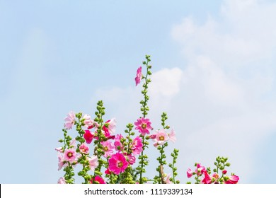 Hollyhock is a tall, 5-6-foot tall tree, and its leaves are like flax or cotton. Leaves are single leaf leaves alternate. Leaves are three-pointed, 8-10 cm wide.