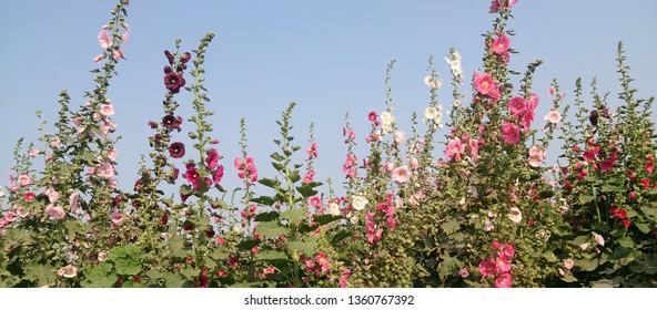 Hollyhock,Hollyhock in the Garden, beautiful flowers ,Taiwan Tainan