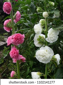 Hollyhocks Double Flowered Chater Mix