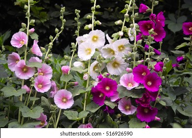 Hollyhocks in mixed colors (Alcea rosea) old-fashioned flowers