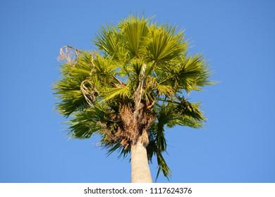 Hollywood, Florida - December, 3, 2017: Palm tree on Hollywood boulevard, Florida