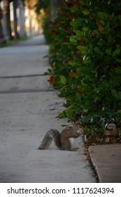 Hollywood, Florida - December, 3, 2017: Squirrel sitting on Hollywood boulevard, Florida
