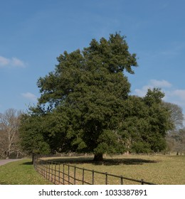 Holm or Holly Leaved Oak Tree (Quercus ilex) in Rural Devon, England, UK