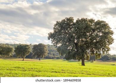 Holm oak grove, quercus ilex trees  green landscape