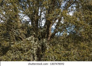 Holm oak. Quercus ilex.