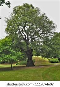 Holm oak tree in a park