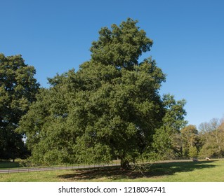 Holm Oak Tree (Quercus ilex) with a Bright Blue Sky Background in a park in Rural Devon, England, UK