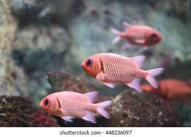 Holocentridae