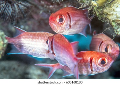 Holocentrinae is a subfamily of Holocentridae containing the squirrelfish