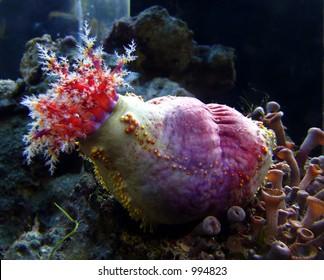 Holothurian in sea aquarium
