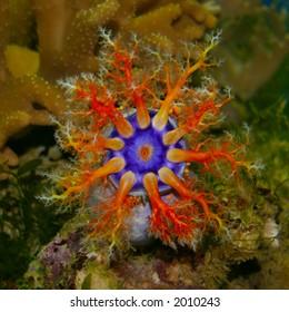 Holothurian (sea cucumber) in sea aquarium