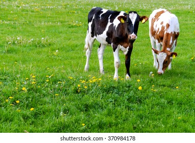 Holstein calves in a meadow, one brown and one black. The image was taken in the Netherlands.