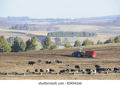 holstein cattle on a dairy farm feedlot, underberg, south africa