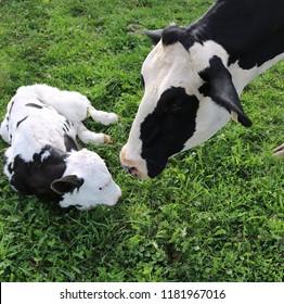 Holstein Cow checks on her newborn calf