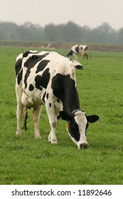 Holstein cow eating grass in the meadow