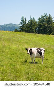 A Holstein cow grazing on grass in Loleta, California.