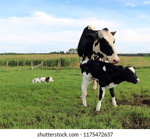 Holstein Cow with her newborn twins standing in the field