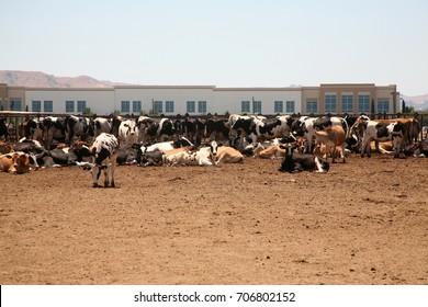 Holstein Cows. Black and White Holstein Friesians cows at a farm.