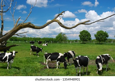 Holstein cows grazing with dead twisted tree