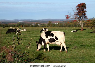 Holstein cows grazing in a field located in Quebec, Canada on a beautiful autumn day.