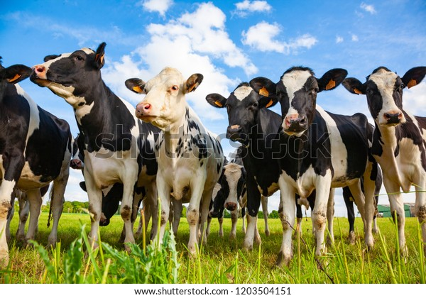 Holstein cows in the pasture looking