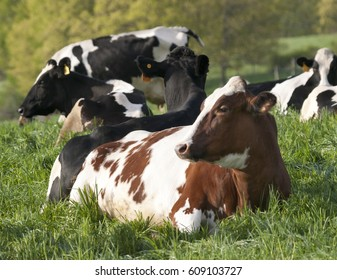 Holstein Cows Resting in a Pasture in the Hudson Valley