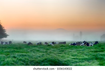 HOLSTEIN DAIRY HERD  meets the dawn in a pasture on the banks of  Umzimkulwana River, Underberg, south africa.