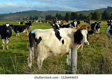 Holstein Freisian Cows enjoying late afternoon winter sunshine in Peenbles, North Otago, New Zealand.