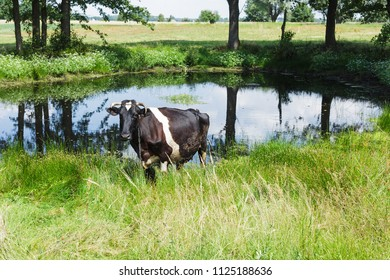 A Holstein Fresian cow grazing on a green pasture near small pond