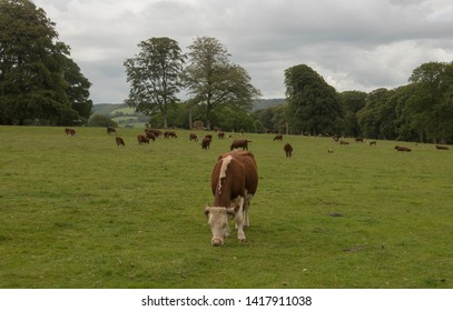 Holstein Friesian Cattle Grazing in Parkland near the Village of Lanhydrock in Rural Cornwall, England, UK