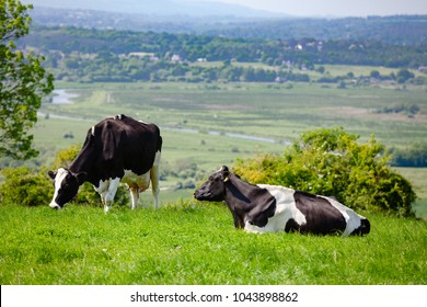 Holstein Friesian dairy cattle at pasture on the South Downs hill in rural Sussex, Southern England, UK