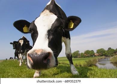 Holstein Friesians or piebald cows on dike
